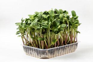 Набор для выращивания побегов подсолнечника цена и информация | Семена приправ | 220.lv