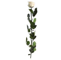 Долгоцветущая роза Amorosa, 55 см Цвет шампанского цена и информация | Долгоцветущая роза Amorosa, 55 см Цвет шампанского | 220.lv