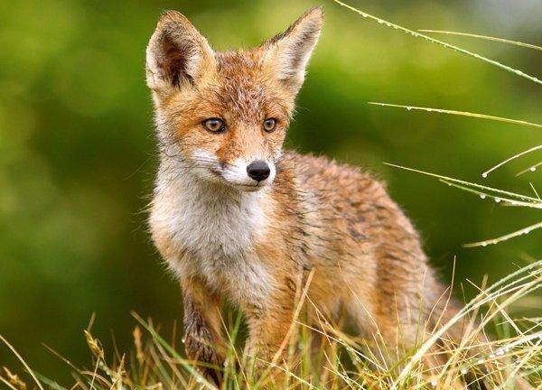 Пазл Castorland Little Fox On The Meadow 260 дет.